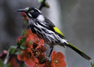 Honeyeater on Quince Blossom (South Australia)