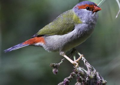 Red-brow finch (South Australia)