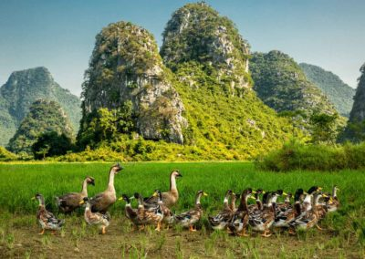 Ducks and geese in Guilin