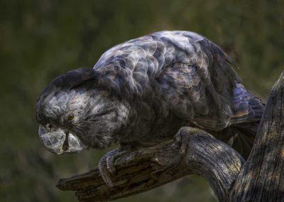 The Black Cockatoo (Northern Territory)